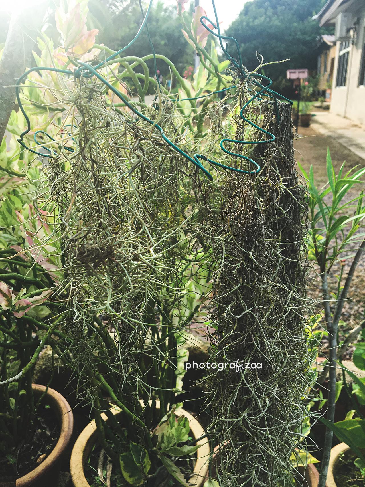 pokok-angin-spanish-moss-air-plant