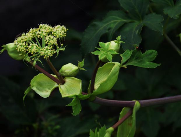 Esta planta japonesa ayudaría a mantenerte joven