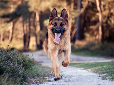 German shepherd dog breed charcteristics