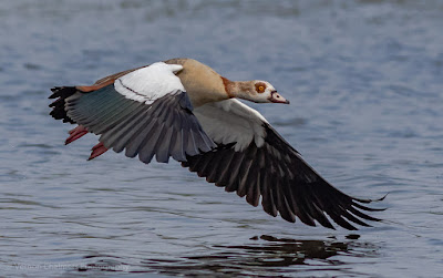 Egyptian goose in flight - Low light Birds in Flight Session at Woodbridge Island