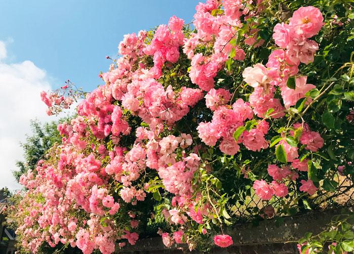 roses in Veules-les-roses