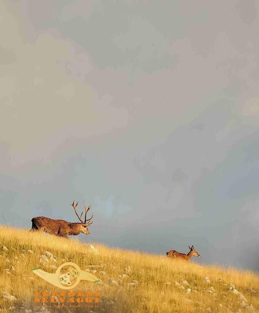 cervo e cerva