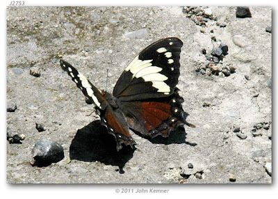 Mariposa gotas de plata (Hypna clytemnestra)