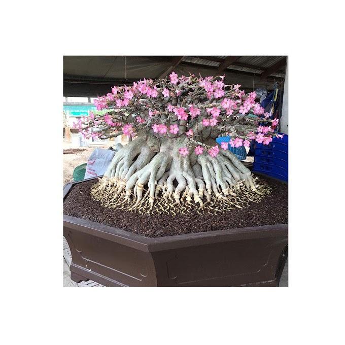 Set of 4 Adenium Thai Socotranum Desert Rose Bonsai Tree