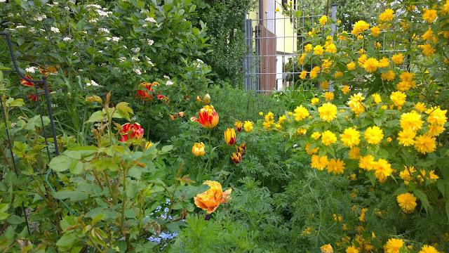 rotgelbe Tulpen, weiße Aroniabeere und gelber Ranunkel  (c) by Joachim Wenk