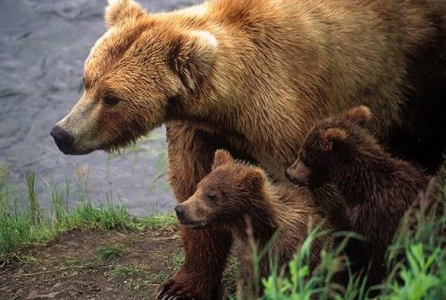 Una historia desgarradora de un rescate de cachorros de oso