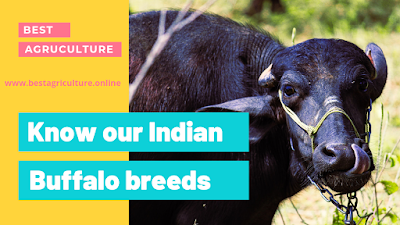 Indian murra Buffalo breed
