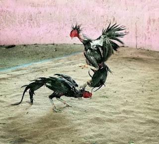 Biji teki membantu memperpanjang nafas ayam