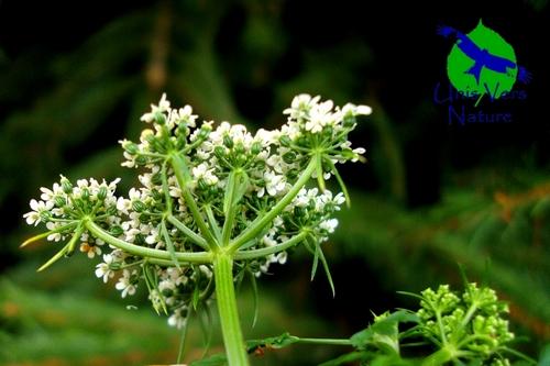 Petite cigue, identification plantes toxiques Unisversnature