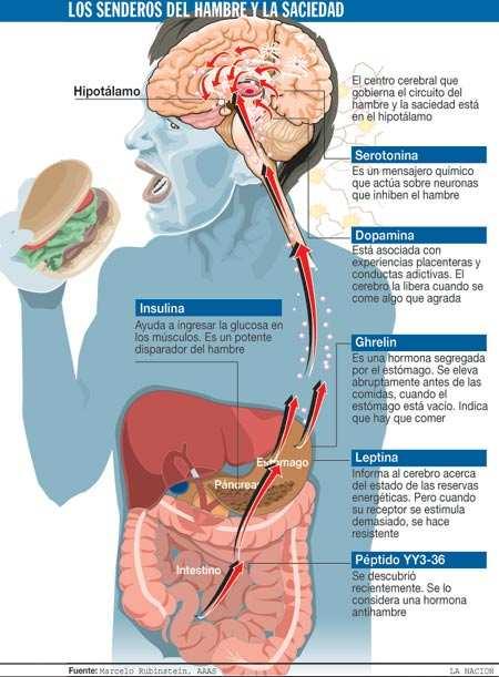 Hipotalamo regulacion del hambre