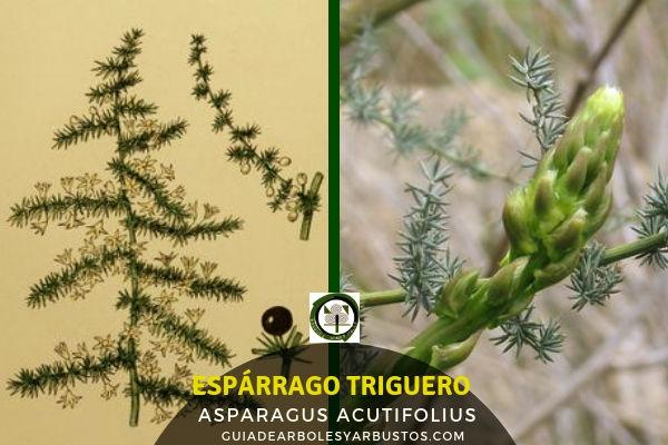Asparagus acutifolius, espárrago triguero, una especie para incorporar a nuestro bosque comestible