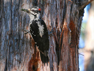 Photo of Hairy Woodpecker on tree trunk