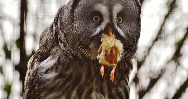 Makanan Burung Hantu Lengkap Untuk Semua Jenis Hobinatang