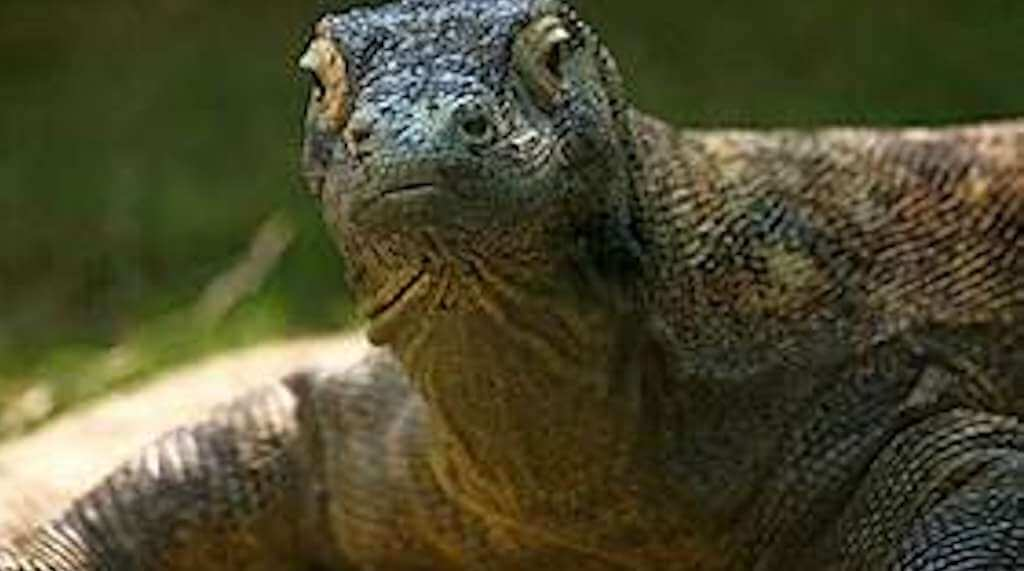 Masa Depan Komodo di Taman Nasional Komodo (TNK)