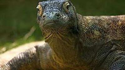 Masa Depan Komodo di Taman Nasional Komodo (TNK) Labuan Bajo