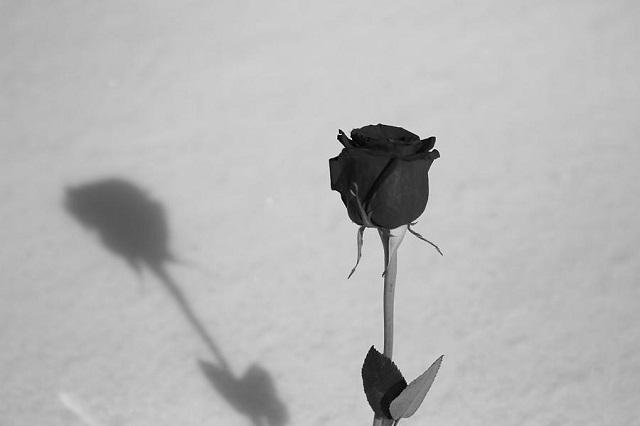 A beautiful rose flower has fallen dried