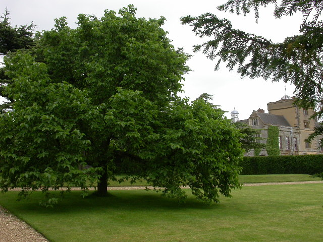 Mature white mulberry tree at Canons Ashby House, England