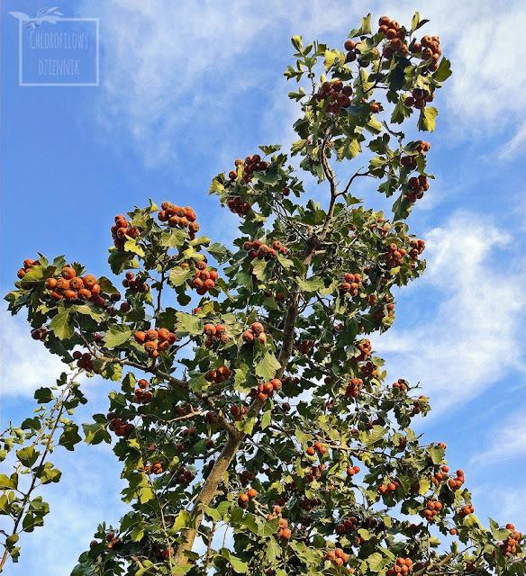 Chiński głóg pierzastolistny (Crataegus pinnatifida) w Chinach, opis, uprawa, pochodzenie, wygląd, owoce, smak, liście, historia, odmiany, zastosowani