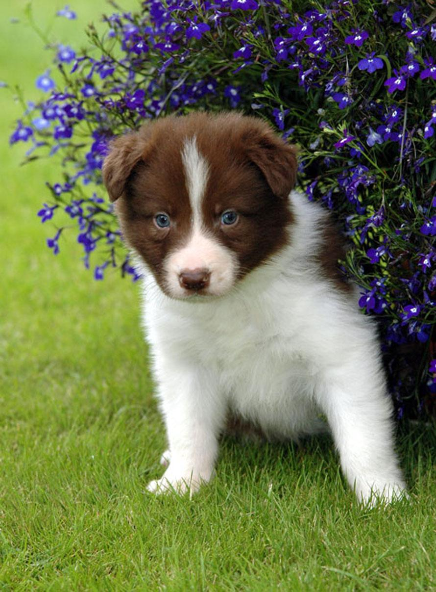 Cute Puppy Dogs: brown border collie puppies