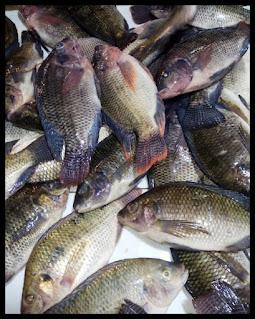 Harga Supplier Jual Ikan Nila Bibit dan Konsumsi Serang, Banten