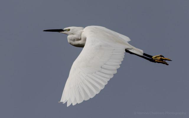 Little Egret in Fight Table Bay Nature Reserve Woodbridge Island, Milnerton