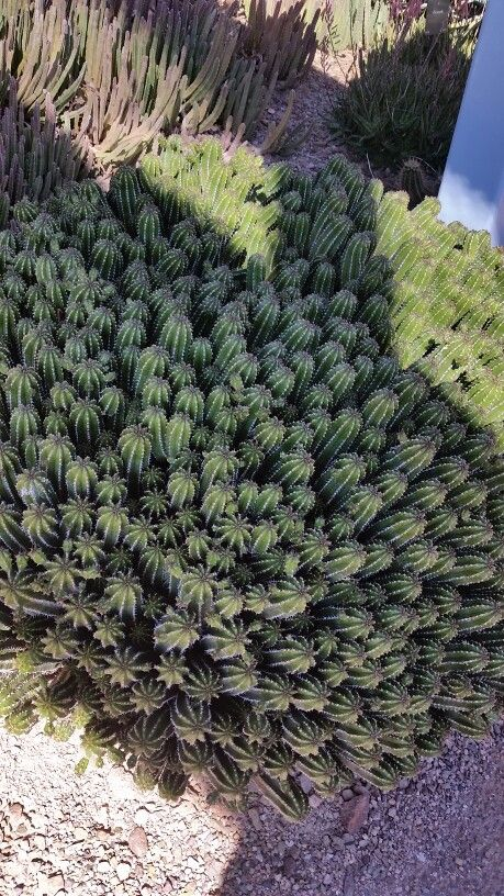 Succulents of the Subtropical Desert - Euphorbia echinus