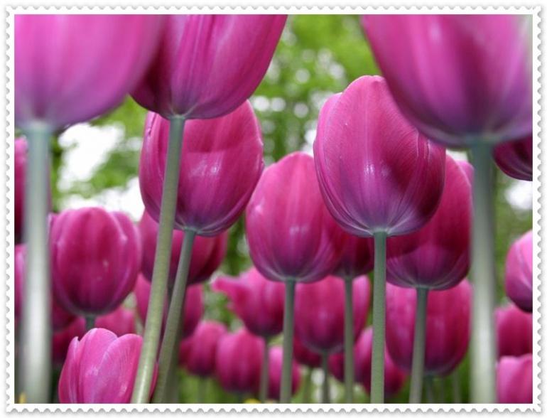 Free Desktop Background Wallpapers: Tulip Flowers, Tulips