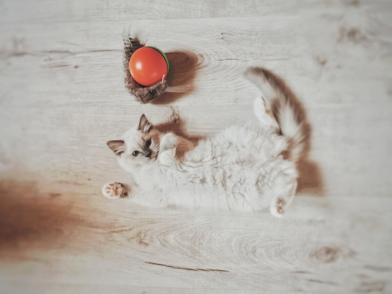 kot z hodowli, kocię, kiedy odebrać kocię, ile kocię musi być z matką, młode kocię, opieka kocię, kot behawior, kot problem, kocię gryzie, kot gryzie, kocię kuweta, koci behawiorysta, hodowla kotów, hodowanie kotów, hodowla miziaczek opinie, hodowla kotów miziaczek, pierwotna socjalizacja kota
