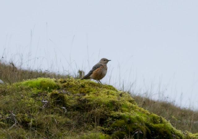 Rock Thrush - Gwent, Wales