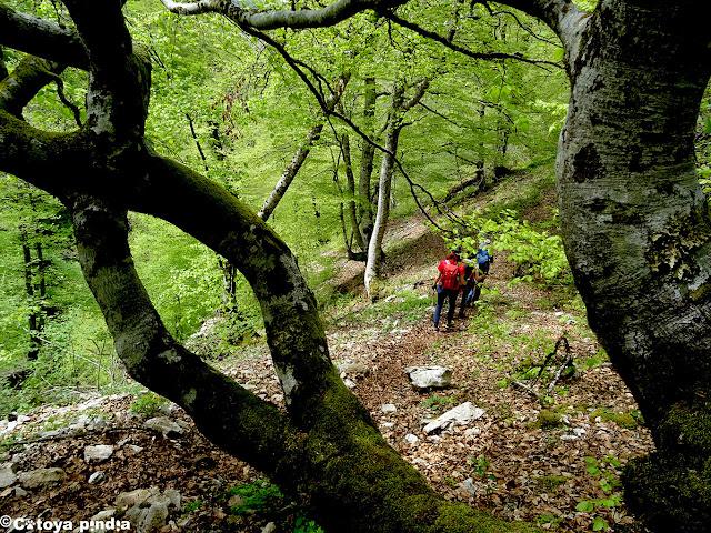 Pasando entre un hayedo en la senda de la Jocica en Picos de Europa.
