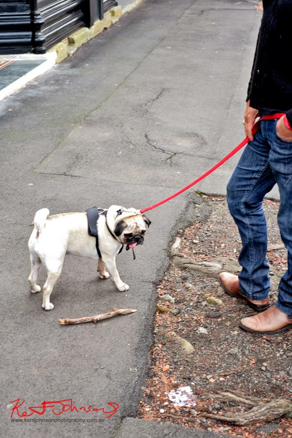 Pug puppy, Queen Street Woollahra; blue jeans brown boots.