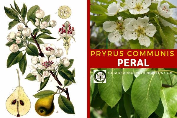 Pryrus communis, el Peral es  un árbol pequeño de hoja caduca con hojas redondeadas brillantes de color verde oscuro