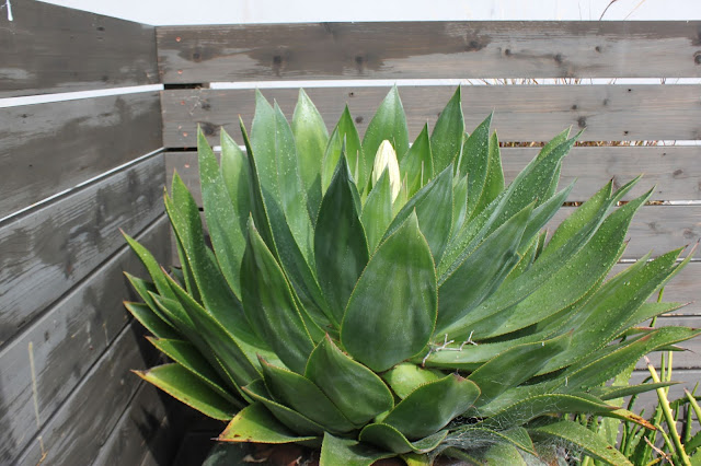 Agave chiapensis in a large pot just starting to bloom