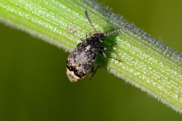Bruchidius bimaculatus