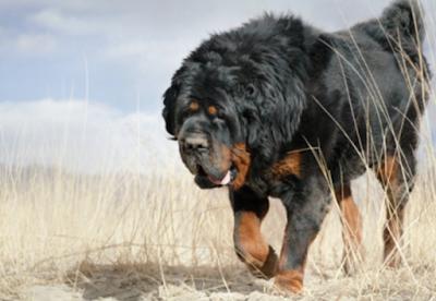 Gaddi Kutta Dog Breed