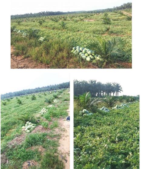 Lowongan Kerja Kebun Malaysia - Kebun Semangka