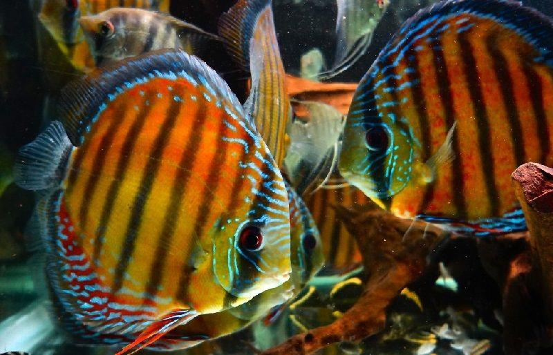 48. Jenis Ikan Hias Aquascape Discus