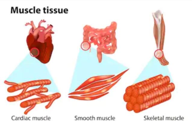 Body muscle l