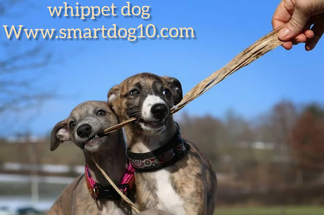 whippet and grayhound