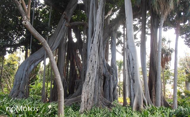 Zanco de Ficus macrophylla subsp columnaris (Higuera de Lord Howe)