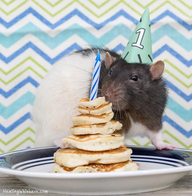 Kingston the rescue rat celebrating his caught ya day