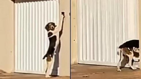 Cachorro é filmado tocando campainha para entrar em casa