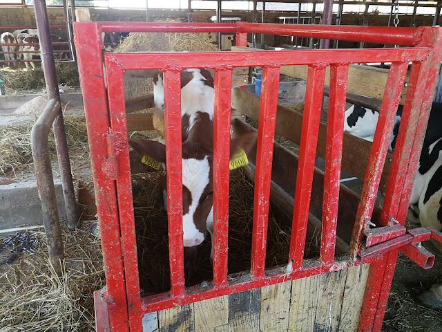 Циљ сваког телета је да једног дана постане крава или бик