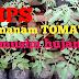 Tips Menanam Tomat di Musim Hujan dengan Media Polybag