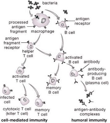 Perkembangan Sel Limfosit B