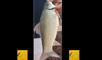 سمكة اللبيس