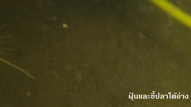 ฝุ่นในอ่างปลาหางนกยูง