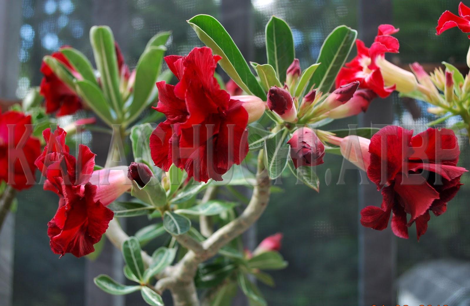 Kalachuchi Atbp: Adeniums Blooming (2016)...with Autumn ...