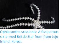 https://sciencythoughts.blogspot.com/2019/08/ophiacantha-scissionis-fissiparous-six.html