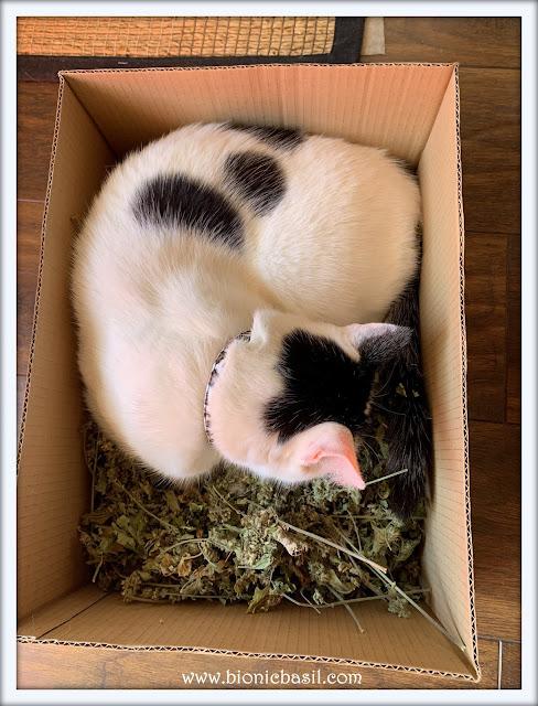 Smooch in the Catnip on Mancat Monday at BBHQ ©BionicBasil®